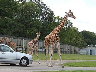 Giraffen im Woburn Safari Park © houghtonbird@btinternet.com